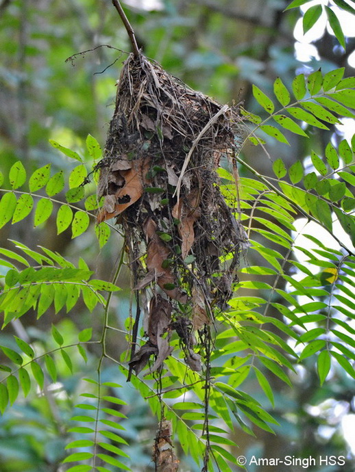 Black-and-red Broadbill's nest