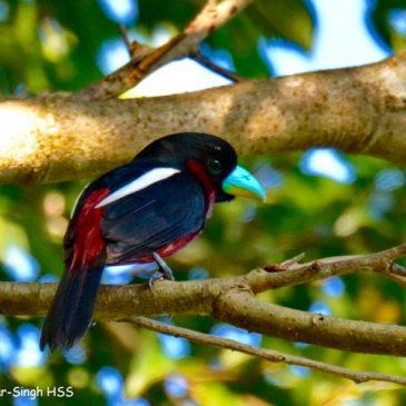 Black-and-red Broadbill  of Borneo