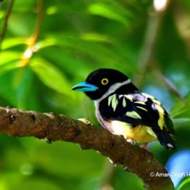 Black-and-yellow Broadbill – female