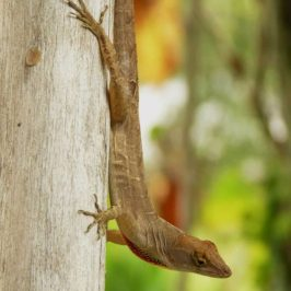 Brown Anole, a new exotic lizard for Singapore