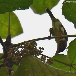 Brown Barbet feeding on fruits of Macaranga gigantea and Ficus benjamina