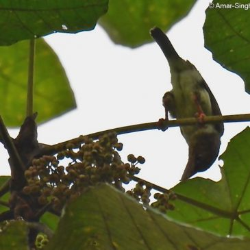 Brown Barbet feeding on fruits of Macaranga gigantea and Ficus benjamina