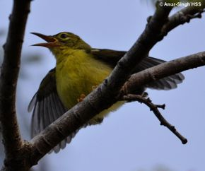 Juvenile Brown-throated Sunbird