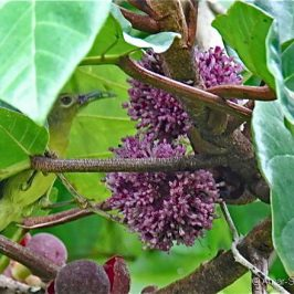 Brown-throated Sunbird feeding on <em>Poikilospermum suaveolens</em>