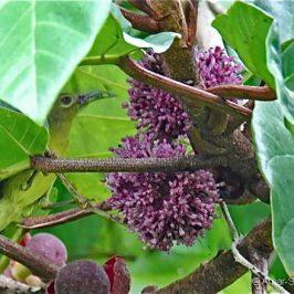 Brown-throated Sunbird feeding on <em>Poikilospermum suaveolens</em>