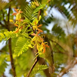 Brown-throated Sunbird – 'new' nectar source