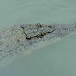 BUAYA (Estuarine Crocodile) BREATHING