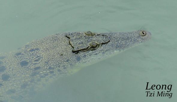 BUAYA (Estuarine Crocodile) BREATHING