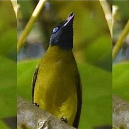 Black-headed Bulbul feeding on fruits of <em>Macaranga bancana</em>