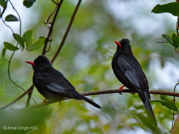Birding in Taiwan: 15. Black Bulbul's calls