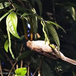 Bulbuls feeding on wild pepper