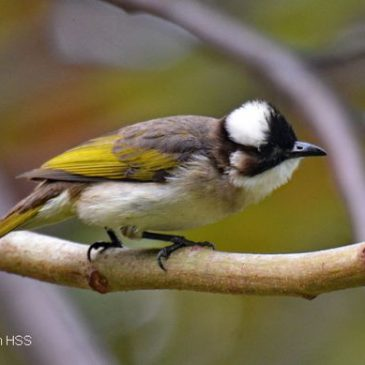 Birding in Taiwan: 17. Light-vented Bulbul