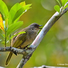 Three brownish bulbuls that are often unrated…