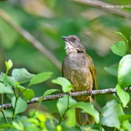 Olive-winged Bulbul – call