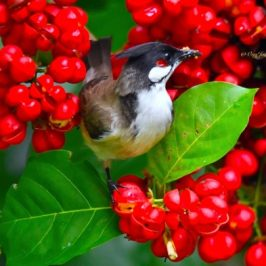 Red-whiskered Bulbul and <em>Harpullia ramiflora</em> fruits