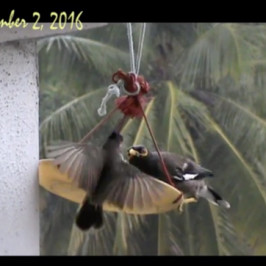 Red-whiskered Bbulbul challenges a Common Myna