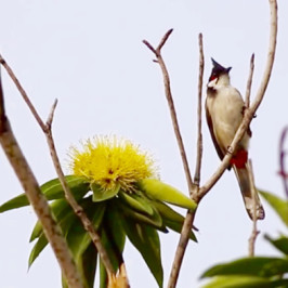 Red-whiskered Bulbul and Golden Penda