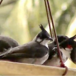 A family of Red-whiskered Bulbuls at the feeder