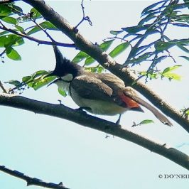 RED-WHISKERED BULBUL TRIO VISIT FIG TREE