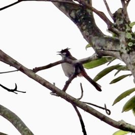 Red-whiskered Bulbul fluffing its feathers