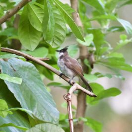 Red-whiskered Bulbul: Adults feeding juveniles