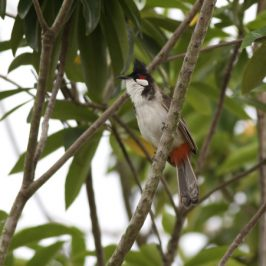 Red-whiskered Bulbuls in the rain