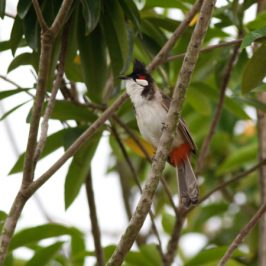 Red-whiskered Bulbuls gathering in the morning