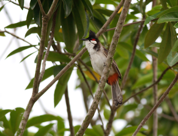 Red-whiskered Bulbul on the branch of the Golden Penda tree.