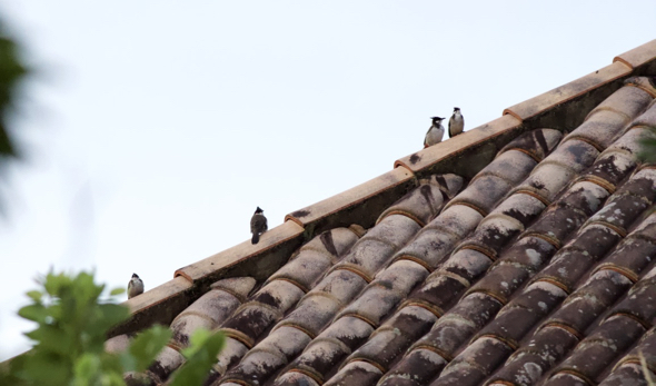 Red-whiskered Bulbuls return to roost… but not for long