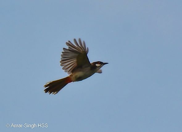 Red-whiskered Bulbul's calls