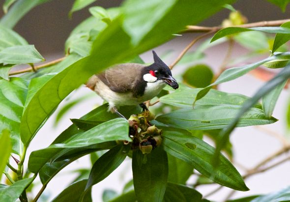 Red-whiskered Bulbul and Singapore Rhododendron  (Photo credit: YC Wee)