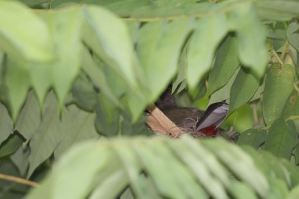 Red-whiskered Bulbul: 2. Incubation