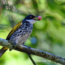 Scaly-Breasted Bulbul – call types