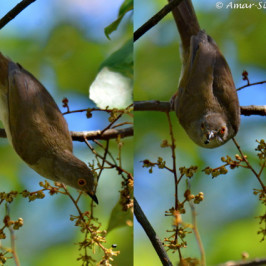 Spectacled Bulbul takes Blue Mahang fruits