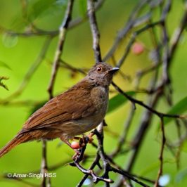 Spectacled Bulbul – subadults/immatures and juveniles
