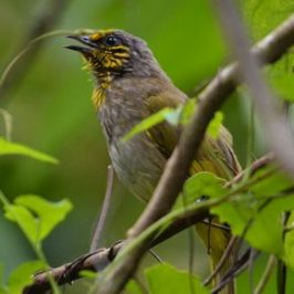 Call of the Stripe-throated Bulbul