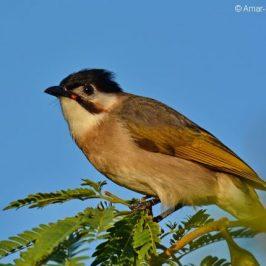 Birding in Taiwan: 16. Styan's (Taiwan) Bulbul
