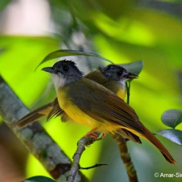 Yellow-bellied Bulbul feeding juvenile and calls