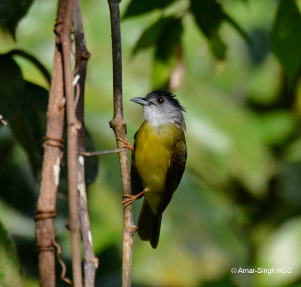 Yellow-bellied Bulbul taking Ficus villosa figs
