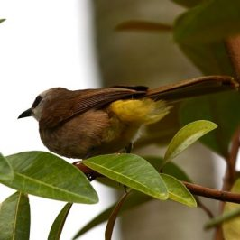 Happy Yellow-vented Bulbuls