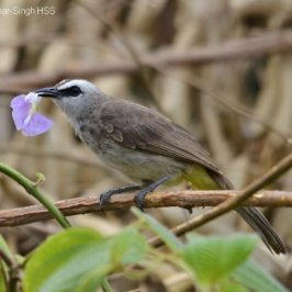 Yellow-vented Bulbul eating a flower