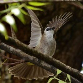 Yellow Vented Bulbul's classical territorial call