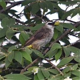 Birds and the Indian cherry tree (<em>Muntingia calabura</em>