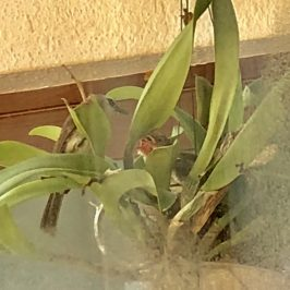Yellow-vented Bulbul nesting in a potted plant