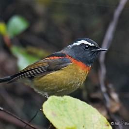 Birding in Taiwan: 3. Collared Bush-robin