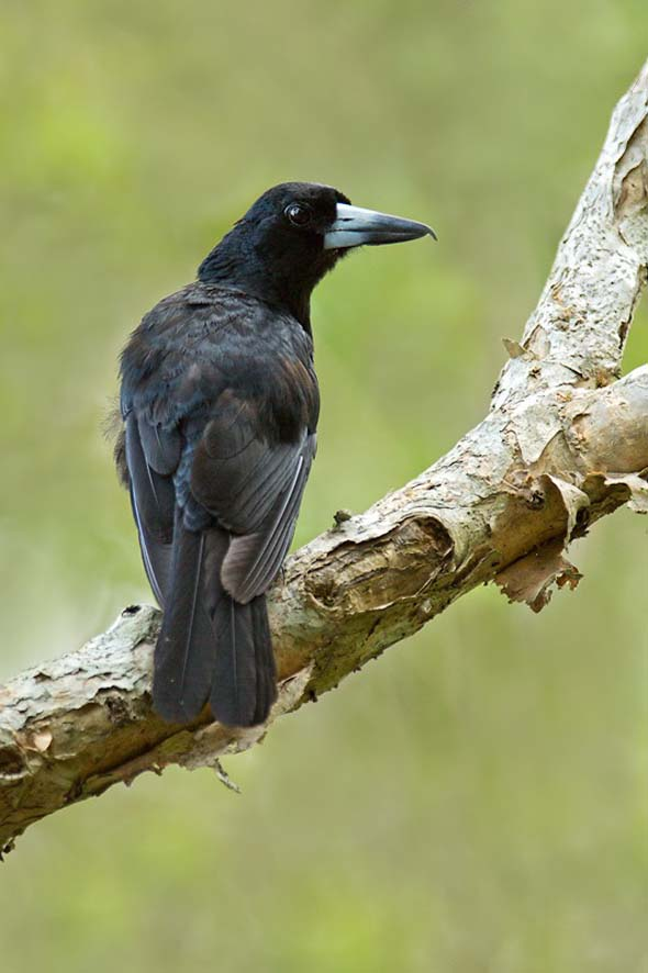 Black Butcherbird (Photo credit: Dr Eric Tan)