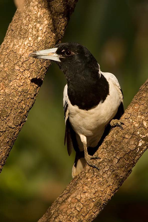 Pied Butcherbird (Photo credit: Dr Eric Tan)