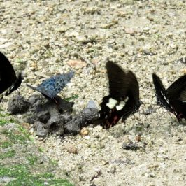 BUTTERFLIES FEEDING ON FAECES