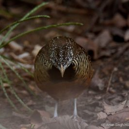"Barred Buttonquail – female ""bluffing behaviour"""