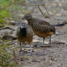 Barred Buttonquail foraging